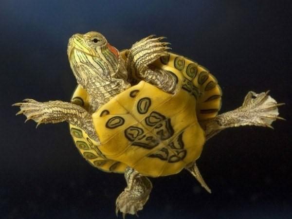Как обустроить аквариум для красноухих черепах