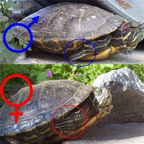 как различать пол у красноухих черепах