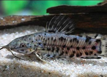 Аквариумные рыбки их рожина