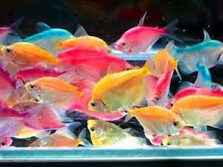 тернеция рыбки аквариумные фото