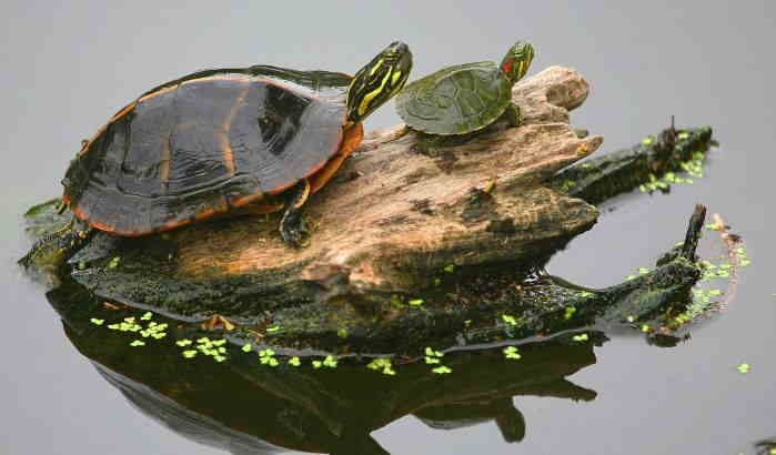 Взрослая и маленькая черепаха