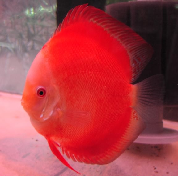 полосатые рыбки аквариумные фото и названия