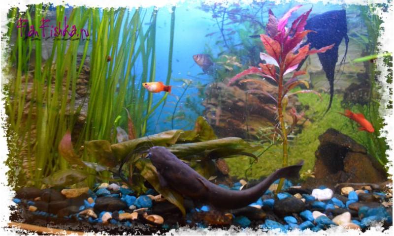 Могут ли сомики съесть других рыбок
