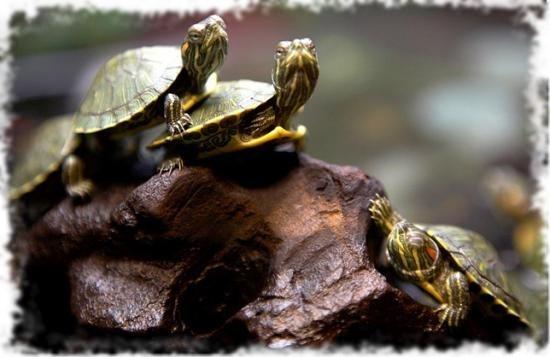 красноухие черепахи красиво