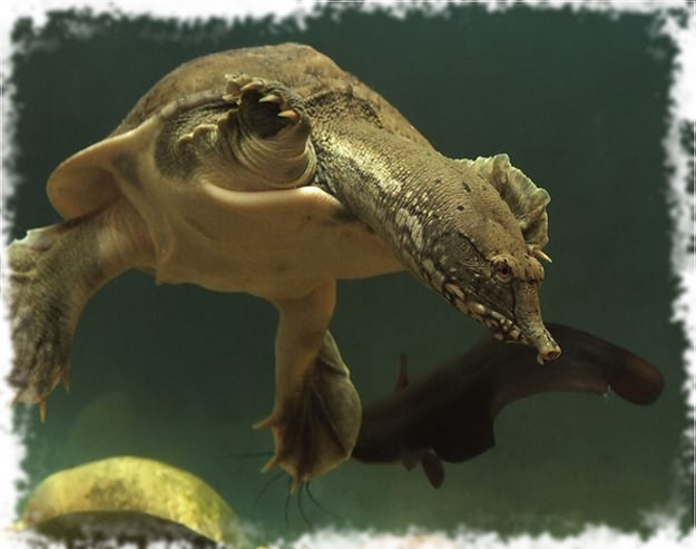 черепаха трионикс и рыбки