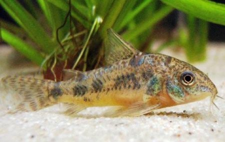 фото рыбка коридорас