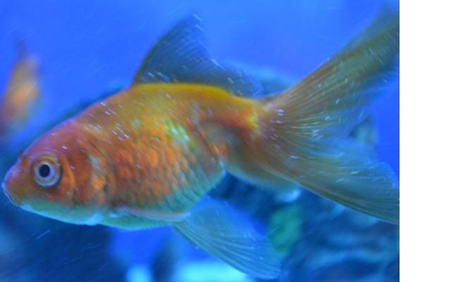 Длительная ванна малахитового зеленого для рыб