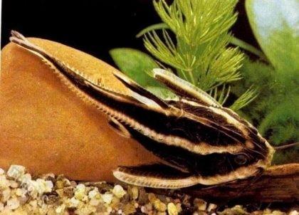 аквариумные сомики названия и фото