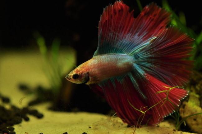 К чему снятся аквариумные рыбки и их мальки