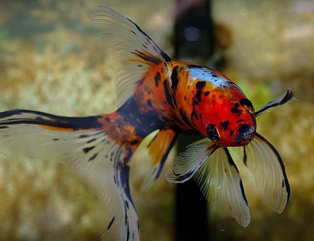 фото рыбка шубункин
