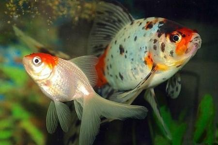 шубункины рыбки фото